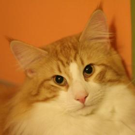 Mourulan kissala, Norjalaisen metsäkissan pennut